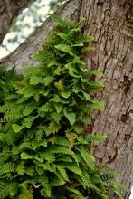 Green Leaves Of Fern On Tree Trunk