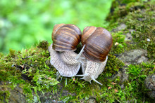 Two Snails On Green Moss, A Na...