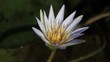 Victoria Amazonica. Flower of the Amazon River. Water Lily.