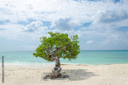 Photo  famous Divi Divi tree which is Aruba's natural compass