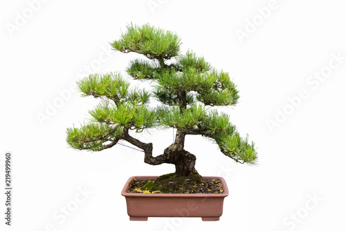 pine bonsai isolated on white