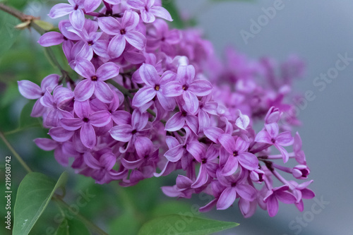 Fotobehang Lilac Lilac blooms in the garden. A beautiful bunch of lilac closeup.