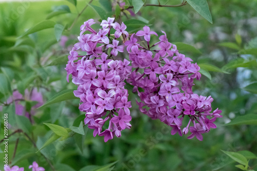 Foto op Canvas Lilac Lilac blooms in the garden. A beautiful bunch of lilac closeup.