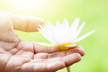 Hand Holding A Bloom Water Lily White Color With Green Nature Background.