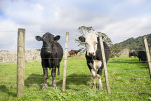 Field Of Bull Calves With Uneven Fence In North Island, New Zealand NZ. Breeds Could Be Angus And Black Hereford