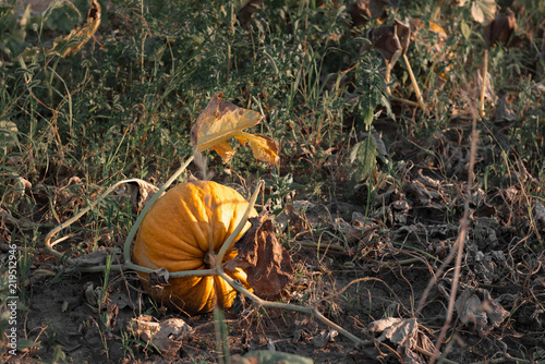 Beautiful pumpkin field. Harvest season in October autumn