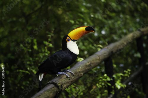Deurstickers Toekan Brazil Amazon Toucan