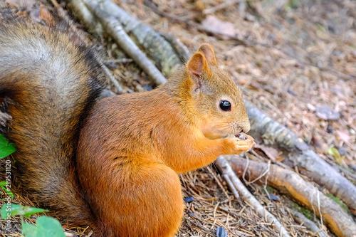 Zdjęcie XXL Wiewiórka siedzi na ziemi. Bites the seed. Zachowuje przednie łapy