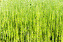 Marsh Small Plants Of Horsetail Background
