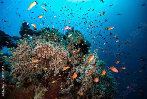 Poster Coral reefs Threadfin Anthias Psudanthias huchti