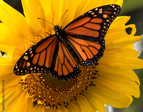 Photo  Monarch Butterfly on a Sunflower