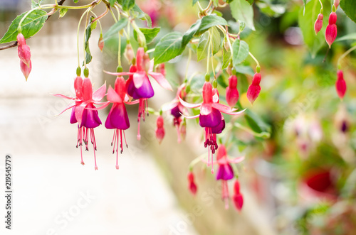 Canvas Print image of a Beautiful pink Fuchsia magellanica flowers on green tree background ,