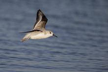 Sanderling (Calidris Alba) In Flight At The Coastline In Florida.