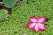 Close up pink plumeria flower and duckweed in the pond