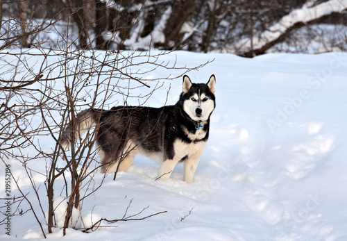 A dog of the Siberian Husky breed in a snowy winter forest