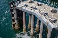 Barnacles Clinging To Pier Pilings At Ferry Dock On Bainbridge Island Pacific Northwest Washington