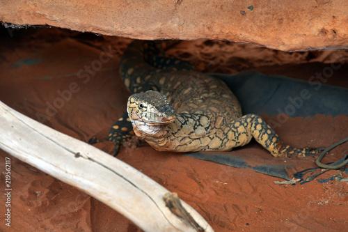 Australia, Zoology, reptile