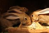 Fototapeta Zwierzęta - hodowla królików