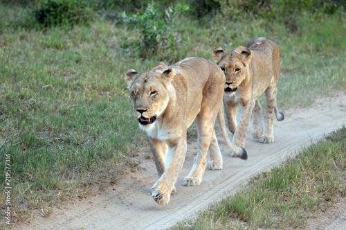 Foto  lionne en chasse