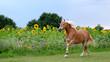 Halflinger Pferd