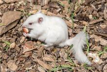 White (Albino) Chipmunk