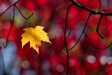One Last Maple Leaf Clinging On