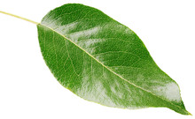 Pear Green Leaf Isolated On Wh...