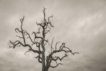 Dead Tree With Twisted Branches Against An Ominous Sky