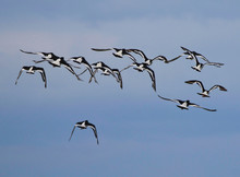 Flock Of Oyster Catchers Flying Over