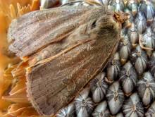 Brown Moth On Sunflower Macro