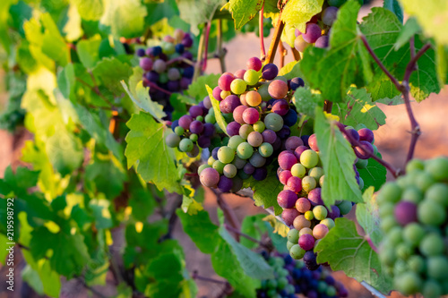 Soft evening light adds glow to clusters of wine grapes ripening in an Oregon vineyard..