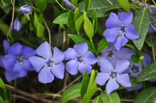 Cruciform Periwinkle With Blue Flowers