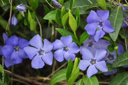 Obraz na plátně Cruciform periwinkle with blue flowers