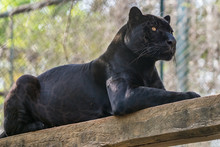 Onça Pintada / Jaguar (Panthe...