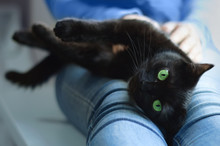 Black Cat Lies In The Hands Of The Girl. Close-up.