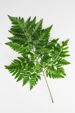 Green Leatherleaf Fern On With...