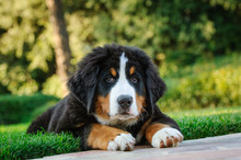 Bernese Mountain Dog Puppy Por...