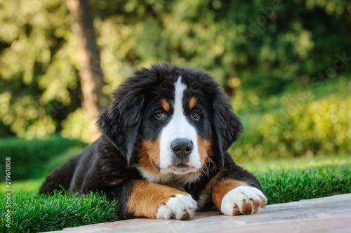 Photo Bernese Mountain Dog puppy portrait lying down in grass