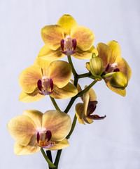 Fototapeta na wymiar Yellow orchid with solid white background