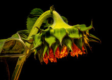 End Of Life- Loneliness And Sadness- Wilting Sunflower Head Against Black Background Close-up Side View
