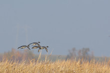 Pintail Ducks Flying Above Wetland