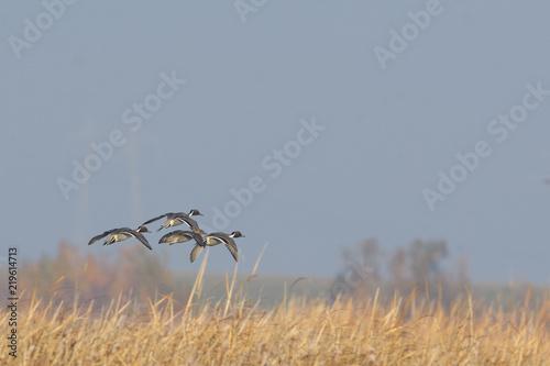 Fototapeta Pintail ducks flying above wetland