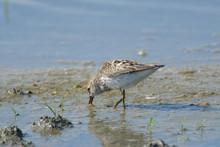 Feeding Tiny Bird In Marsh Water