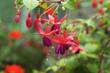 Leinwandbild Motiv beautiful fuschia flower blooming in garden