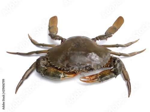 Female mud crab