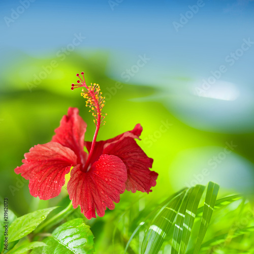 Red Hibiscus Flower Green And Blue Tropical Background With Space