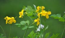 Chelidonium Majus - Wild Weeds