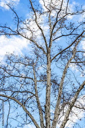 Fotografie, Obraz  Platanus tree bare December branches against a blue cloudy sky in Sofia, Bulgari