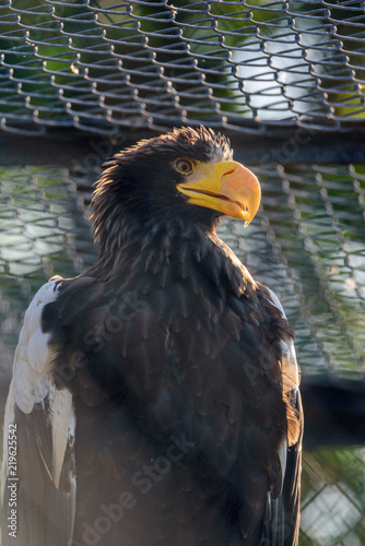 Staande foto Eagle a portrait of a white-tailed eagle in a cage