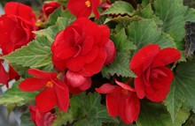 Begonia Flowers On A Garden